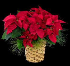 Poinsettia from Lloyd's Florist, local florist in Louisville,KY
